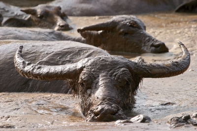 Buffalo in the mud